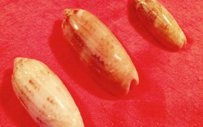South Carolina official state sea shell
